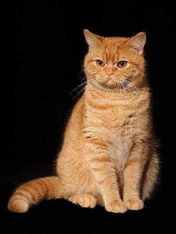 Dalli-Max SK - chovatelská stanica britských mačiek Zvolen e9f2cdb60e2
